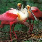 Roseate Spoonbills, Everglades National Park