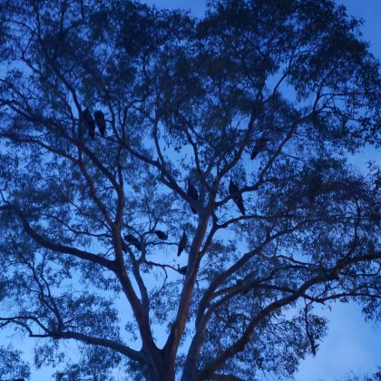 A tree canopy at dusk, with about a dozen peafowl nesting in its limbs